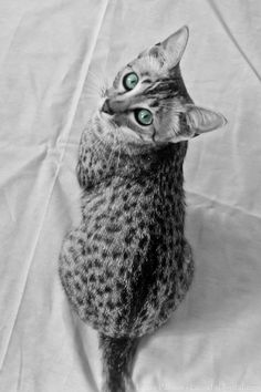 Wintermuse,  Egyptian Mau by Laura P,