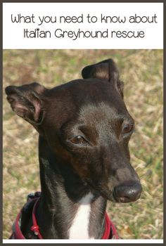 When considering an Italian Greyhound rescue, there are a few things you should know. Breed traits are important facts for Italian Greyhound rescue.