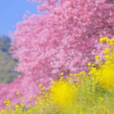 【oshimaf1.0】さんのInstagramをピンしています。 《静岡県南伊豆町の河津桜です。 先日Postした写真のピント位置と絞り値を変えただけの写真ですが、ずいぶん雰囲気が変わりますね。 ・ #静岡県#南伊豆町#写真撮ってる人と繋がりたい #写真#japan  #japan_daytime_view #canon #eos #eos5dmark3 #キヤノン #ig_japan #japan_photo_now #lovers_nippon #loves_nippon #icu_japan #team_jp #tokyocameraclub #ファインダー越しの私の世界 #はなまっぷ #cherryblossom #写真好きな人と繋がりたい  #河津桜 #菜の花 #桜》