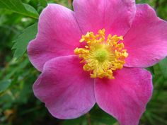 Alberta Wild Rose at Big Hill Springs. Isn't the colour gorgeous? I wish I had masses of these along our woods.