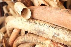 Combined Effort Cracks Ivory Cartel in DRC | African Wildlife Foundation