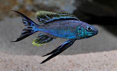 Cyathopharynx furcifer sumbu Cichlid Aquarium, Cichlid Fish, Discus, Tropical Freshwater Fish, Freshwater Aquarium Fish, Underwater Creatures, Ocean Creatures, Tropical Aquarium, Tropical Fish