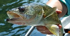 Walleye Trolling Secrets.