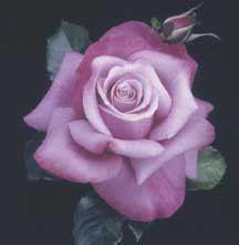 Barbra Streisand Rose (photo © Bailey Nurseries) - amazing she must love purple too Love Rose, My Flower, Pretty Flowers, Cactus Flower, Exotic Flowers, Rose Foto, Ronsard Rose, Rose Violette, Coming Up Roses