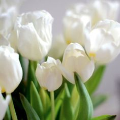 White tulips:) my favorite flower