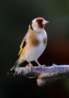 Goldfinch by Willie Mills**
