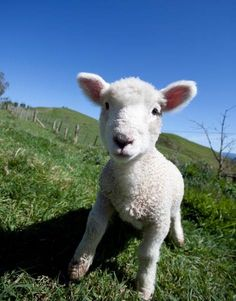 This ridiculously cute lamb clearly wants to be a model when it grows up. Photo by Open2view's Jason Tregurtha. Click on the pic to feel even warmer inside.