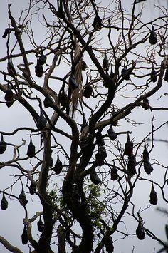 I must see a bat tree Bat Species, Gothic Garden, Very Scary, Creature Feature, Macabre, Dark Art, Mother Nature, Mammals, Halloween Decorations