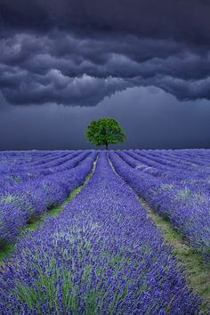 Gorgeous gray storm clouds over a field of lavender.