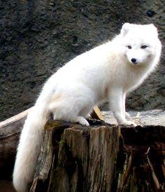 White fox-yes I saw one in my backyard.