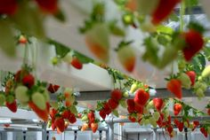 Growing Strawberries using Hydroponics
