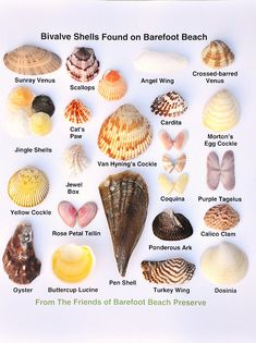 Friends of Barefoot Beach Preserve, shells, Naples FL