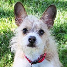 Zuke is an adoptable Yorkie-mix in Auburn, NE Zuke was brought to HUA by his owners who became unable to care for him. He is about the cutest ... ...Read more about me on @petfinder.com