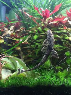 whiptail catfish. The whiptails are one of my favorite cats❤️. They are never aggressive even to deep bodied fish like plecos can be. Only cat that can top them are. Ancistrus !