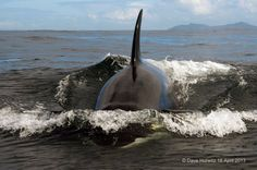 Orcas of Cape Town #FalseBay #SouthAfrica Photo by Dave Hurwitz