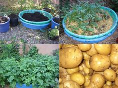 The Idea: Create a Potato Patch in Your Old Kiddie Pool. Your potatoes will be swimming! Vegetable Garden, Garden Plants, Planting Plants, Container Gardening, Gardening Tips, Bonsai, Potato Barrel, Frugal, Potato Gardening