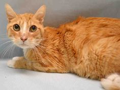 NEWMAN - A1073832 - - Manhattan  Please Share:   **TO BE DESTROYED 05/22/16** SENIOR IN NEED! Meet Newman, a neutered senior gent who has been at the ACC since May 15th. His medical notes show a cat who would benefit from a geriatric checkup, who has a woeful BCS score of 2.5/9, a heart murmur, and some other potential issues. Given that the ACC is more known for the rate at which they kill cats, rather than the accuracy with which they diagnose them, a person should not tr
