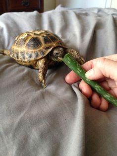 Fester the tortoise enjoying aloe.