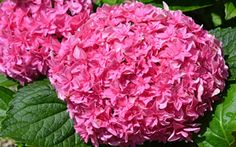 Double Delights Perfection Hydrangea