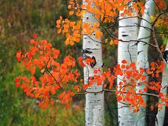 "ASPEN BRANCH.  Colorado.  Here's a close look at the tree's heart-shaped leaves. The way they flutter in the slightest breeze prompts the nickname, ""quaking aspens.""  The gold and orange leaves stand out against the smooth white bark.  To 34"" on the long side.  Click on this preview image for a full-screen view."
