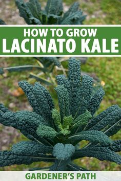 Lacinato kale is a healthy, delicious, and easy to grow crop that deserves a place in the garden. Also known as Dinosaur or Tuscan kale, this plant has long blueish green leaves that are as ornamental as they are tasty. Learn how to grow this cruciferous leafy green vegetable now. #dinosaurkale #lacinato #gardenerspath Gardening For Beginners, Gardening Tips, Dinosaur Kale, Grow Your Own Food, Green Leaves, Garden Inspiration, Vegetable Garden, Organic Gardening, Indoor Plants