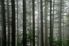 Sun and fog through the trees along Forest Road 5500 in the Coast Range. Oregon