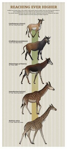 reaching ever higher evolution Prehistoric Wildlife, Prehistoric World, Prehistoric Creatures, Animal Bones, Dinosaur Art, Extinct Animals, Zoology, Creature Design, Animals Beautiful