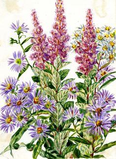 Harvard University Herbaria - Botany Libraries Archives Gray Herbaria Wildflowers Eastern North America Elsie Shaw