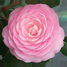 Camellia 'Pink Perfection' (Camellia japonica hybrid) blooms over a long period from fall to spring. 3 inch flowers.