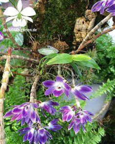 Dendrobium victoria reginae  #orchid #orchids #Orchideen #Orchidee #Orchiddengarten #orchidacea #dendrobium