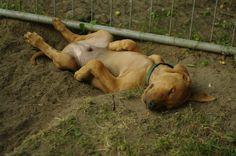 Zahabu puppy www.zahabu.org