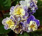 Fun And Eco-Helpful Solutions To Remodel Your Yard African Violet Saintpaulia Leaf Tea's Blueberry Butterfly - Sweet