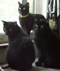 Such a regal and beautiful threesome - Gorgeous black kitties. ....