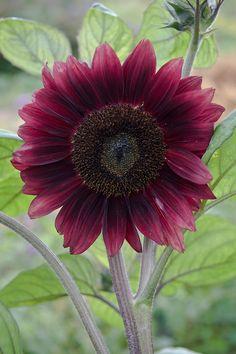 Dark red sunflower 'Black Magic' (Helianthus annuus), early August.