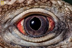The publishers of National Geographic magazine have released an amazing set of ultra-close-up images of eyes across the animal kingdom to coincide with the February issue. Take a look. Close Up Photos, Cool Photos, Eyes Photos, Animal Close Up, National Geographic Animals, Eye Close Up, Dragon Eye, Mundo Animal, Reptiles And Amphibians