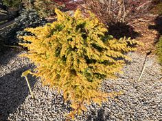 Thuja Smaragd, Dandelion, Flowers, Plants, Gold, Dandelions, Plant, Taraxacum Officinale, Royal Icing Flowers