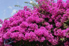 Bougainvillea als Kletterpflanze © Siegbert Mattheis, http://www.ambiente-mediterran.de/bougainvillea-pflegetipps