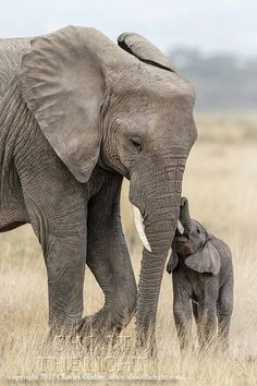 A tender touch Elephant Love, Elephant Art, African Elephant, Elephants Photos, Save The Elephants, Zoo Animals, Animals And Pets, Cute Animals, Elephant Photography
