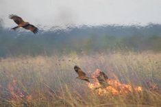 raptors in australia intentionally spread fire to hunt