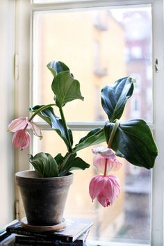 Big, lush leaves and cool pink blooms. Big, lush leaves and cool pink blooms. Plantas Indoor, Pot Jardin, Decoration Plante, Pot Plante, Plants Are Friends, Green Plants, Plant Decor, Houseplants, Indoor Plants