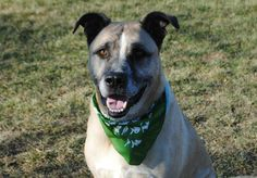 NO LONGER LISTED - #MICHIGAN #U ~ Spike ID  A280591 is a Neutered Akita mix in need of a loving #adopter / #rescue at MACOMB COUNTY ANIMAL SHELTER 21417 Dunham Rd #ClintonTownship MI 48036 Ph 586-469-5115