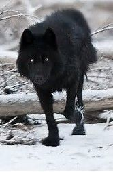Image result for pics of a real black wolf dog with a white heart on his chest