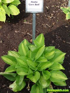 Hosta Corn Belt.....Medium size, chartreuse to bright golden yellow, very wide & irregularly margined w/ green streaking, heavy veining, rippled arching oval shaped leaves w/ a pointed tip, pest resistant, dramatic.