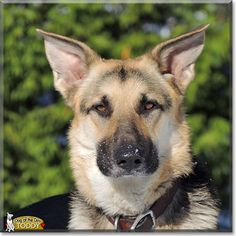 Read Toddy's story the German Shepherd Dog from Boone, North Carolina and see her photos at Dog of the Day http://DogoftheDay.com/archive/2013/September/21.html .
