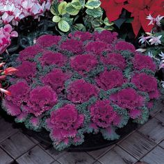 This amazing flowering kale has tightly fringed foliage with rose red centers, and is easy to grow in the fall. A beautiful accent for autumn. Find them at your local farmers' market and roadside stands!