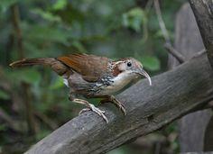 Large Scimitar Babbler - Bangladesh,Cambodia,China,India,Laos, Malaysia,Myanmar,Thailand, andVietnam - TIMALIIDAE
