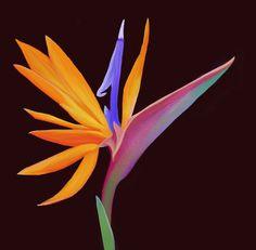 Bird of paradise flower I drew chillingprincess Birds Of Paradise Plant, Birds Of Paradise Flower, Exotic Flowers, Beautiful Flowers, Exotic Birds, Paradise Painting, Bird Barn, Barn Owls, Kingfisher Bird