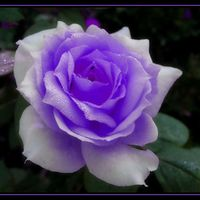 Purple rose for my Luiza