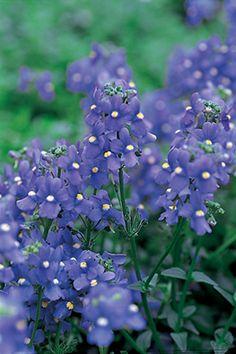Annual Flowers Nemesia Blue Bird