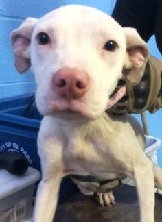 Animal ID\t35396369 \r\nSpecies\tDog \r\nBreed\tTerrier, Pit Bull\/Mix \r\nAge\t4 months \r\nGender\tFemale \r\nSize\tMedium \r\nColor\tWhite \r\nSite\tCity of El Paso, Animal Services \r\nLocation\tSally Port \r\nIntake Date\t5\/18\/2017 \r\n
